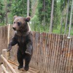 Bear in Karelia