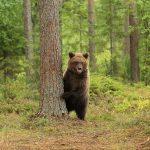 Медведь в Карелии