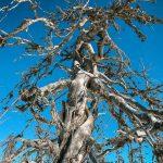 Мертвые деревья на Воттоваара
