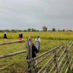 Уборка сена на острове Кижи
