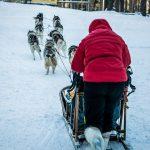 Dog sledding in Karelia