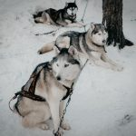 Сибирские хаски в Карелии
