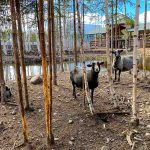 Овцы в Карелии