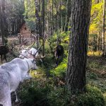 forest deer, Karelia