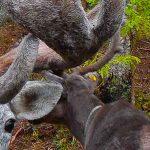 Лесные олени