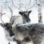 Северные олени в Карелии