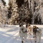 Катание на собачьей упряжке Карелия
