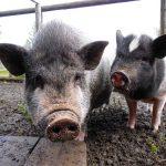 Свинки на ферме в Карелии